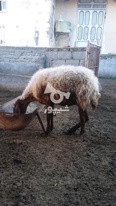 گوسفندزیرقیمت در گروه خرید و فروش ورزش فرهنگ فراغت در گلستان در شیپور-عکس2