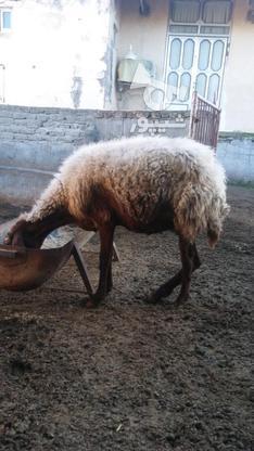 گوسفندزیرقیمت در گروه خرید و فروش ورزش فرهنگ فراغت در گلستان در شیپور-عکس3