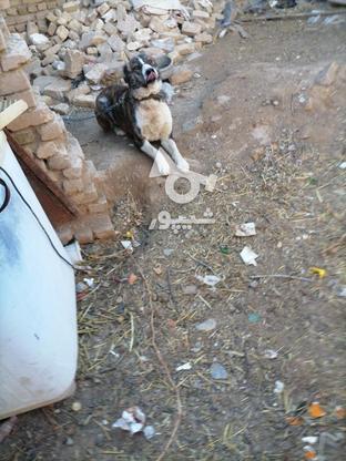 سگ گله ای.  در گروه خرید و فروش ورزش فرهنگ فراغت در خراسان رضوی در شیپور-عکس4