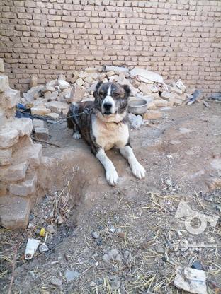 سگ گله ای.  در گروه خرید و فروش ورزش فرهنگ فراغت در خراسان رضوی در شیپور-عکس1