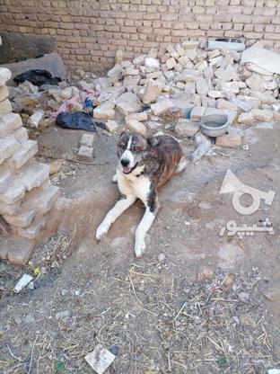 سگ گله ای.  در گروه خرید و فروش ورزش فرهنگ فراغت در خراسان رضوی در شیپور-عکس3