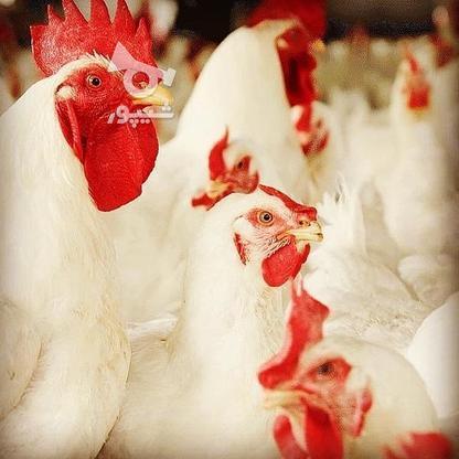 مرغ مادر وخروس در گروه خرید و فروش ورزش فرهنگ فراغت در آذربایجان غربی در شیپور-عکس1