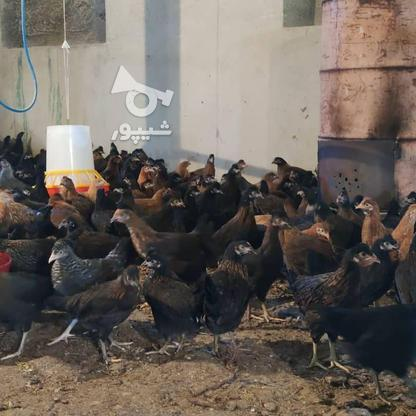 مرغ مادر وخروس در گروه خرید و فروش ورزش فرهنگ فراغت در آذربایجان غربی در شیپور-عکس4