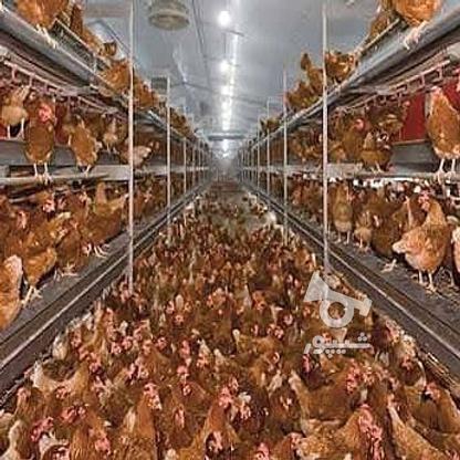 مرغ مادر وخروس در گروه خرید و فروش ورزش فرهنگ فراغت در آذربایجان غربی در شیپور-عکس2