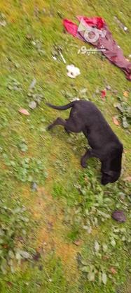 توله سگ شکاری نژاد:پوینتر ماده در گروه خرید و فروش ورزش فرهنگ فراغت در مازندران در شیپور-عکس1