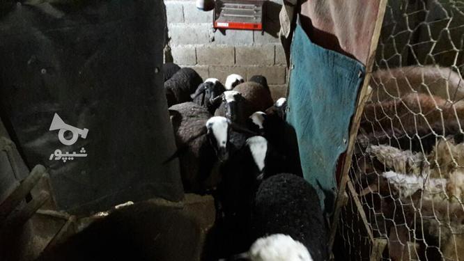 گوسفند بره ماده شال در گروه خرید و فروش ورزش فرهنگ فراغت در مازندران در شیپور-عکس3
