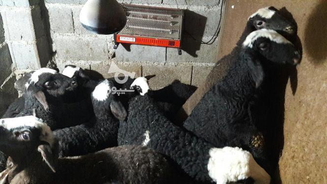 گوسفند بره ماده شال در گروه خرید و فروش ورزش فرهنگ فراغت در مازندران در شیپور-عکس2