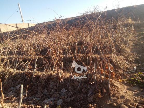 نهال انگور  در گروه خرید و فروش صنعتی، اداری و تجاری در آذربایجان غربی در شیپور-عکس1