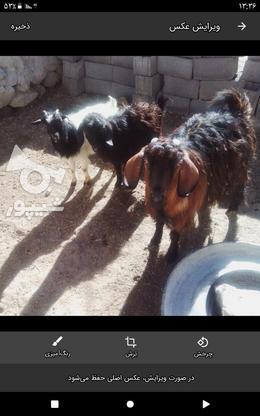 بزوبزقاله در گروه خرید و فروش ورزش فرهنگ فراغت در کردستان در شیپور-عکس3