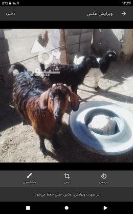 بزوبزقاله در گروه خرید و فروش ورزش فرهنگ فراغت در کردستان در شیپور-عکس1