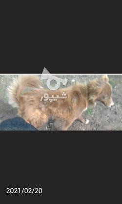 سگ ماده گمشده در گروه خرید و فروش خدمات و کسب و کار در آذربایجان شرقی در شیپور-عکس2
