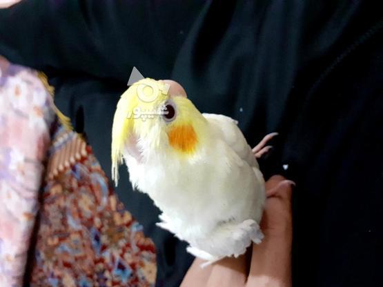 طوطی  آلبینو سخنگو دستی در گروه خرید و فروش ورزش فرهنگ فراغت در زنجان در شیپور-عکس1