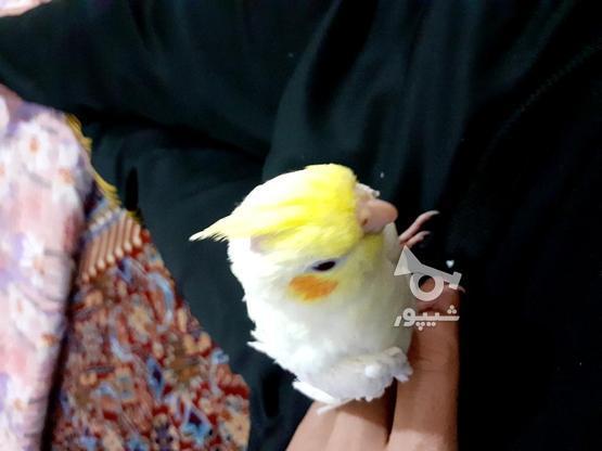 طوطی  آلبینو سخنگو دستی در گروه خرید و فروش ورزش فرهنگ فراغت در زنجان در شیپور-عکس2