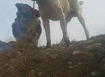 سگ اصل افغان 20ماهه در شیپور-عکس کوچک