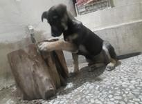 سگ ژرمن ورک 2/5 ماهه  در شیپور-عکس کوچک