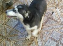 سگ هاسکی.........        در شیپور-عکس کوچک
