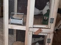 دو جفت کبوتر کاشانی بعلاوه قفس دو طبقه در شیپور-عکس کوچک