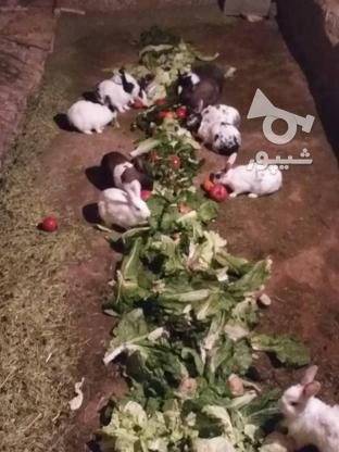 خرگوشابستنوبچهدار در گروه خرید و فروش ورزش فرهنگ فراغت در کردستان در شیپور-عکس2