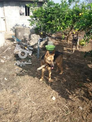 سگ ژرمن شولئای در گروه خرید و فروش ورزش فرهنگ فراغت در مازندران در شیپور-عکس2