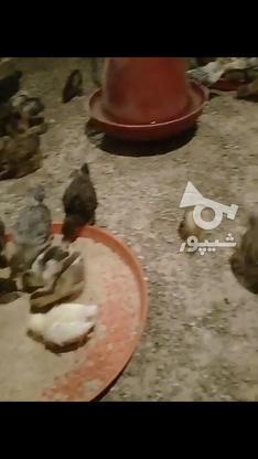 جوجه محلی مرغ و خروس 20 روزه در گروه خرید و فروش ورزش فرهنگ فراغت در تهران در شیپور-عکس2