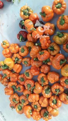 فلفل های رنگی وارگانیک تازه وخوشمزه در گروه خرید و فروش خدمات و کسب و کار در تهران در شیپور-عکس1