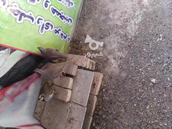 3 عدد کبک. 2عدد نر و یک ماده  در گروه خرید و فروش ورزش فرهنگ فراغت در تهران در شیپور-عکس1