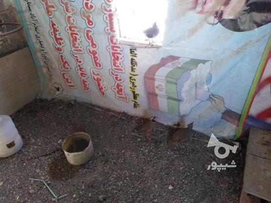 3 عدد کبک. 2عدد نر و یک ماده  در گروه خرید و فروش ورزش فرهنگ فراغت در تهران در شیپور-عکس8
