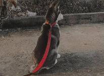 سگ هاسکی اصل چشم ابی در شیپور-عکس کوچک