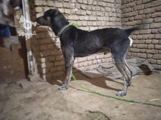 سگ افغان سه و نیم ساله  در گروه خرید و فروش ورزش فرهنگ فراغت در خراسان رضوی در شیپور-عکس1