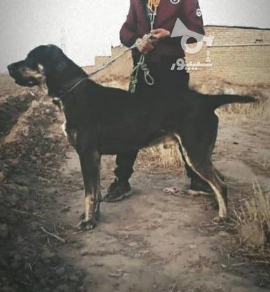 سگ افغان سه و نیم ساله  در گروه خرید و فروش ورزش فرهنگ فراغت در خراسان رضوی در شیپور-عکس2