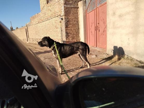 سگ افغان سه و نیم ساله  در گروه خرید و فروش ورزش فرهنگ فراغت در خراسان رضوی در شیپور-عکس3