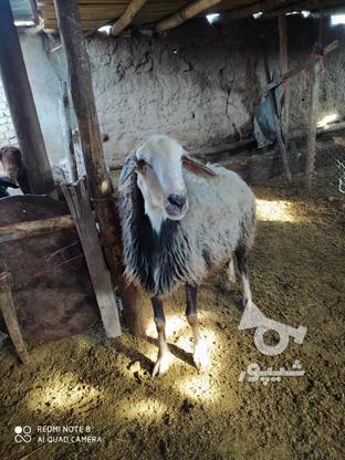 قوچ 2ساله کبود پشندی  در گروه خرید و فروش ورزش فرهنگ فراغت در قزوین در شیپور-عکس1