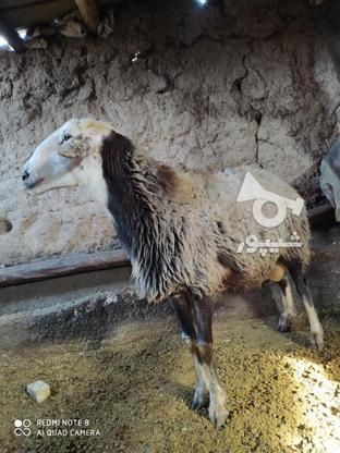 قوچ 2ساله کبود پشندی  در گروه خرید و فروش ورزش فرهنگ فراغت در قزوین در شیپور-عکس2