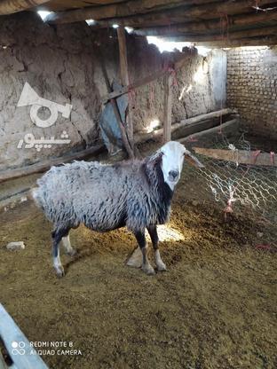 قوچ 2ساله کبود پشندی  در گروه خرید و فروش ورزش فرهنگ فراغت در قزوین در شیپور-عکس3