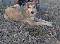 سگ ماده عراقی دزدیده شده در شیپور-عکس کوچک
