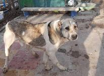 سگ گمشده است در شیپور-عکس کوچک