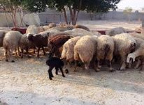 تعدادی    گوسفند  در شیپور-عکس کوچک