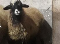گوسفند بره ماده در شیپور-عکس کوچک