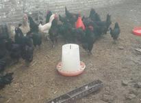 مرغ   وخروسمرندی در شیپور-عکس کوچک