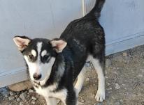 سگ دورگ ژرمن وهاسکی در شیپور-عکس کوچک