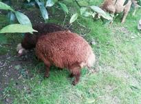 گوسفند نر نژاد دار فروشی ب شرط در شیپور-عکس کوچک