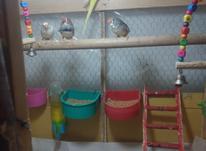 فروش مرغ عشق نر در شیپور-عکس کوچک
