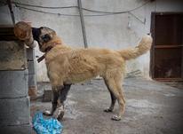 توله سگ سراب 9 ماهه در شیپور-عکس کوچک